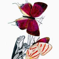 Papillon kafakumba et rainette