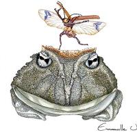 Grenouille cornue. Colombie