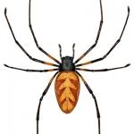 Araignée-à-toile-Nephila-turneri