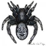 Araignée-culbuteuse-Psammoduon-canosum