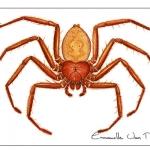 Araignée-plate-Selenopidae