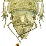 tete-de-crepidoptenus-decosser