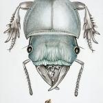 tete-de-dyscaris-stridifraus